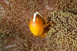 BD-140322-Panglao-3141-Amphiprion-sandaracinos.-Allen.-1972-[Yellow-clownfish].jpg